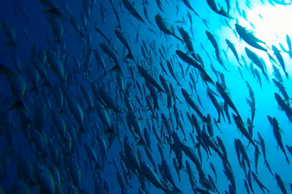 Group of fishes in Caño Island