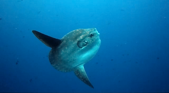 Ramon Vos with Mola Mola, Sunfish