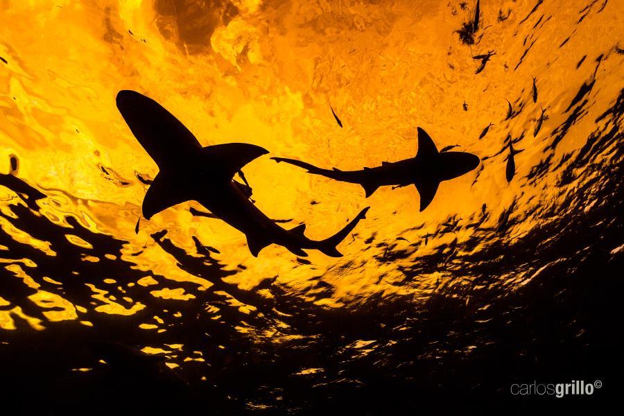 Caribbean reef shark at sunset