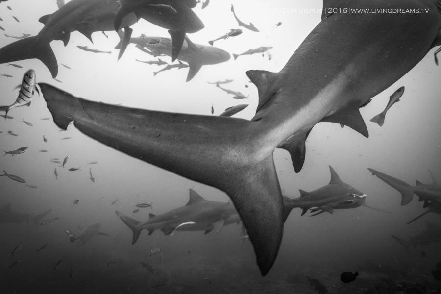 Caudal fin of a large adult bull shark