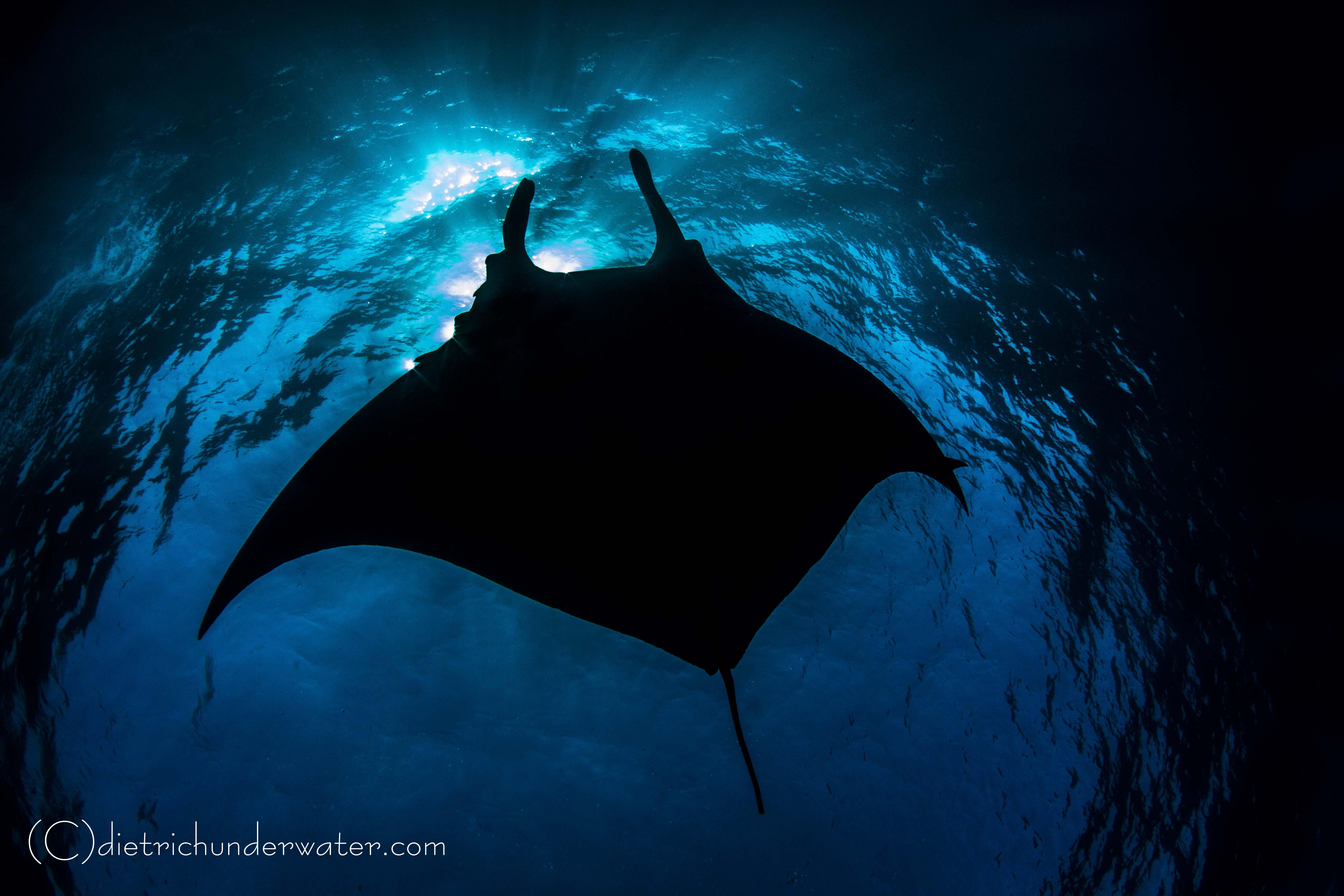 Giant Pacific Manta Ray in Socorro Mexico