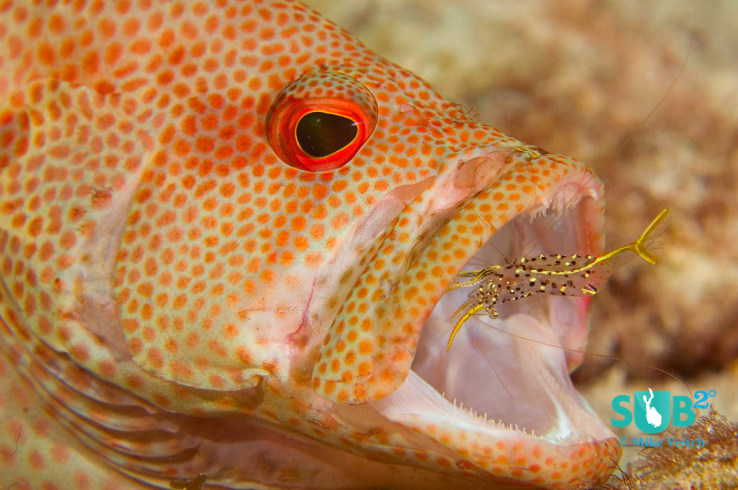 A small cleaner shrimp cleans a speckled grouper in Yap, Micronesia.