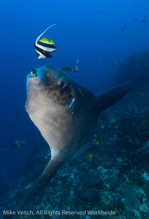 Mola mola at Nusa Penida