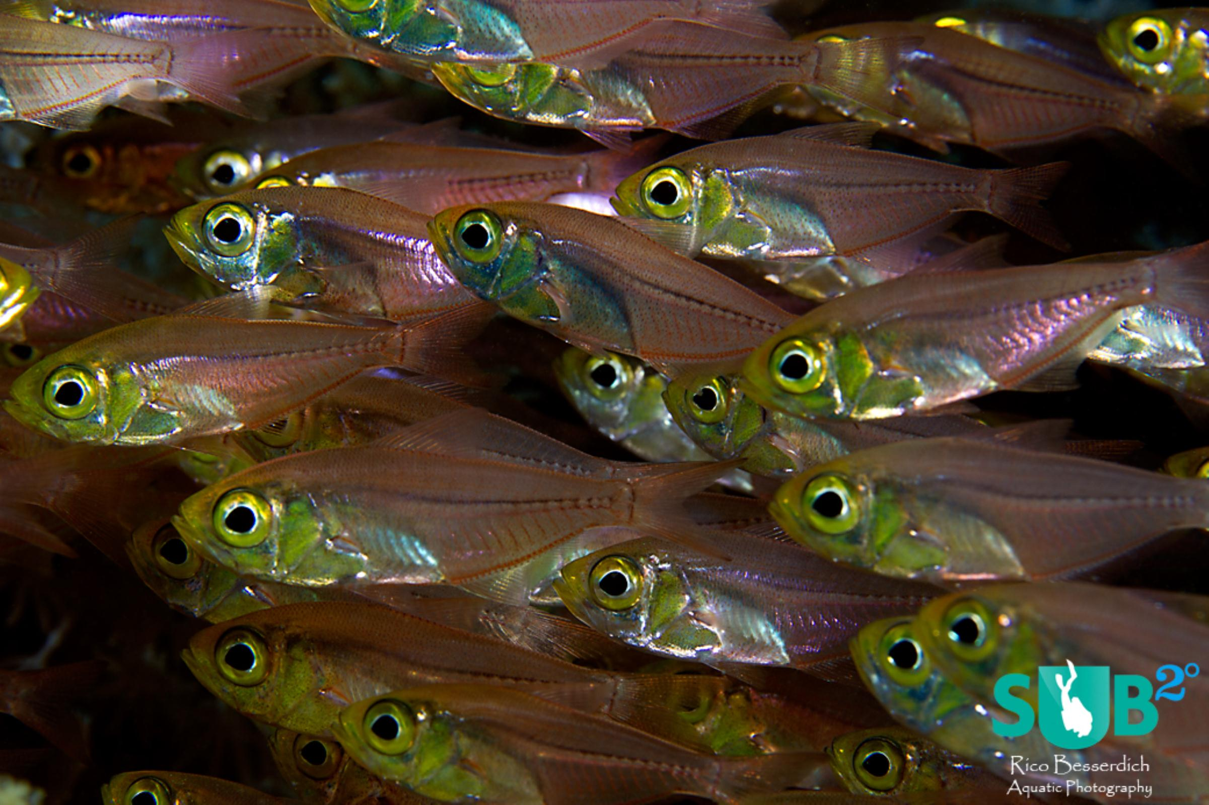 Not that glassfishes are boring from a distance but a close approach comes with interesting results