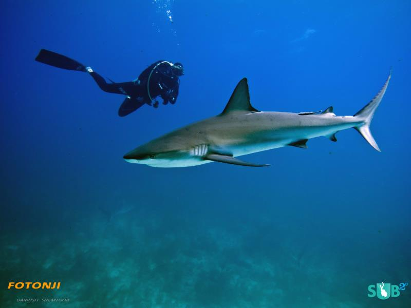 Close encounter with reef shark