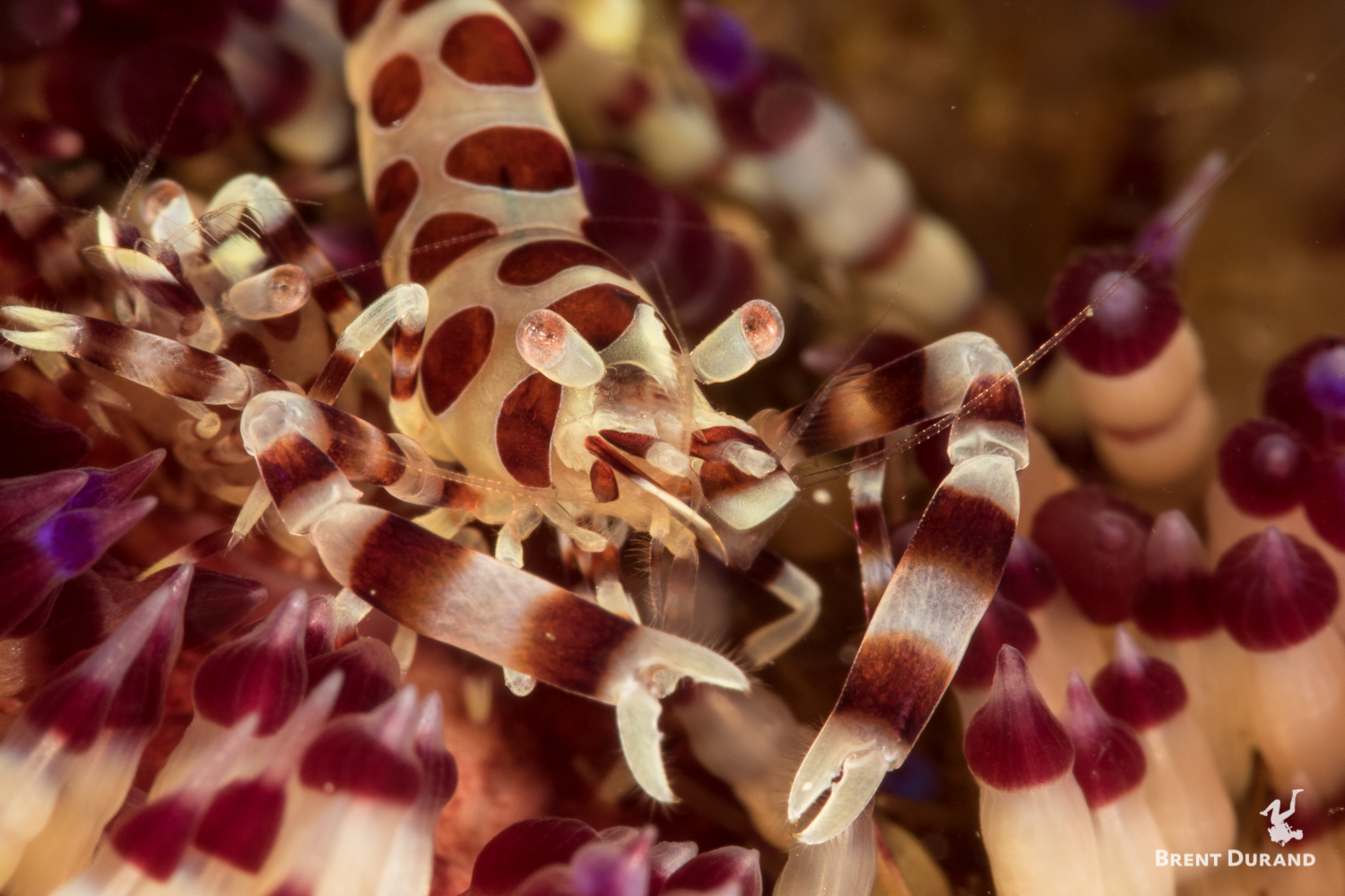 This is a detailed shot of one of a pair of Coleman Shrimp on a fire urchin in Anilao, Philippines.