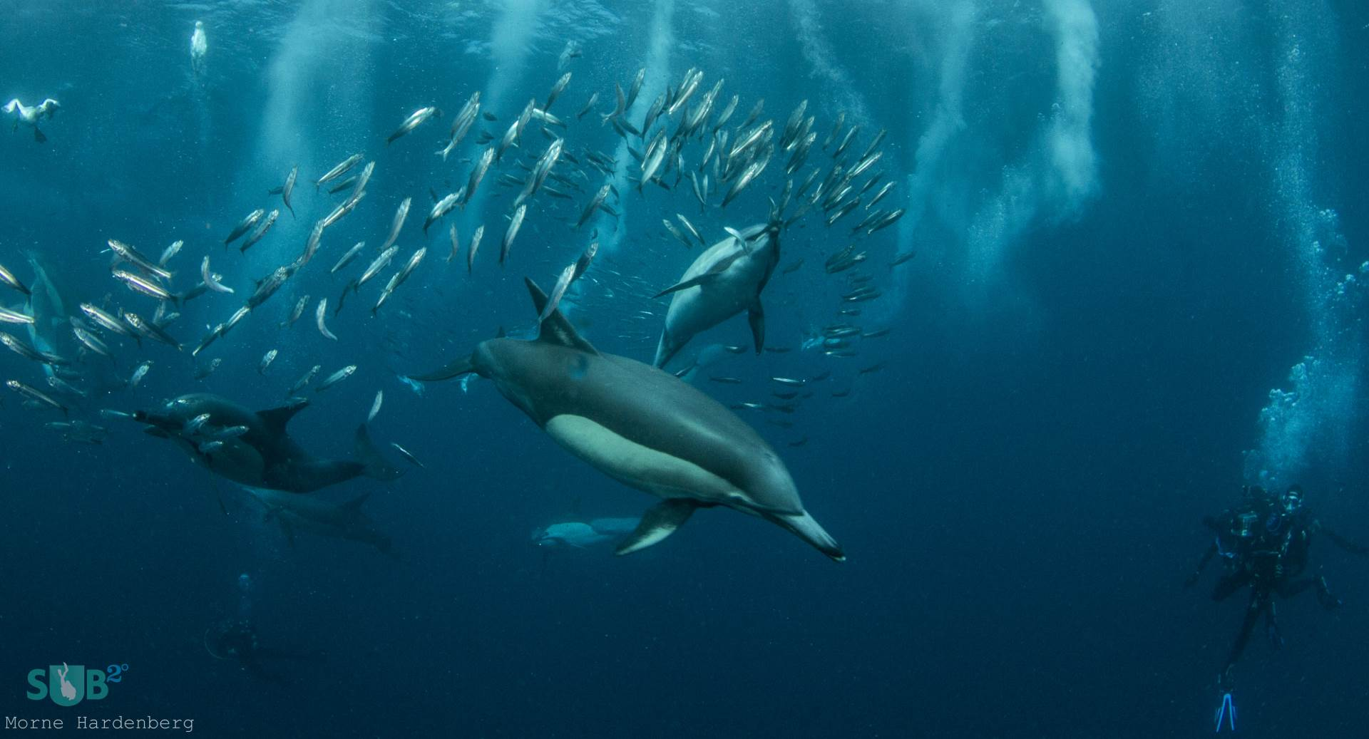 The common dolphin is the name given to two species of dolphin, making up the genus Delphinus, even though the short-beaked common dolphin has a larger range than its long-beaked counterpart.