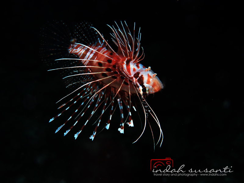 More story about lionfish: http://indahs.com/2014/09/19/lionfish-to-love-and-to-hate/