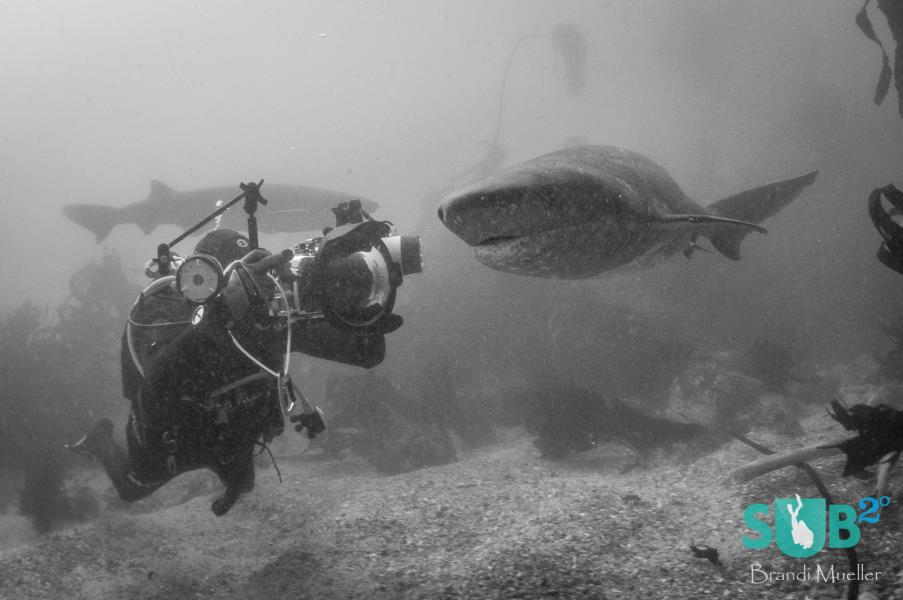 Cow Shark and Diver