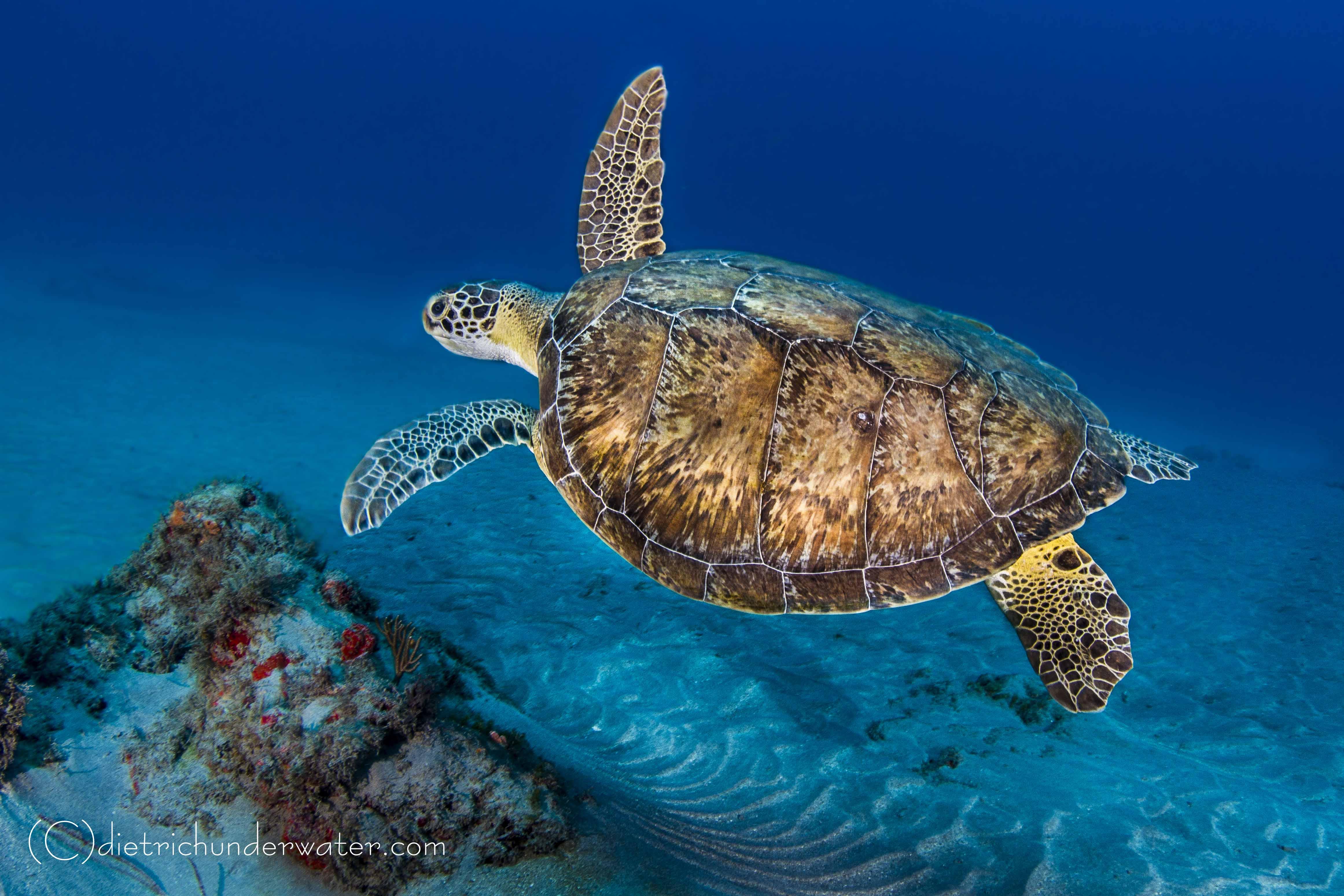 Turtle in Jupiter Florida
