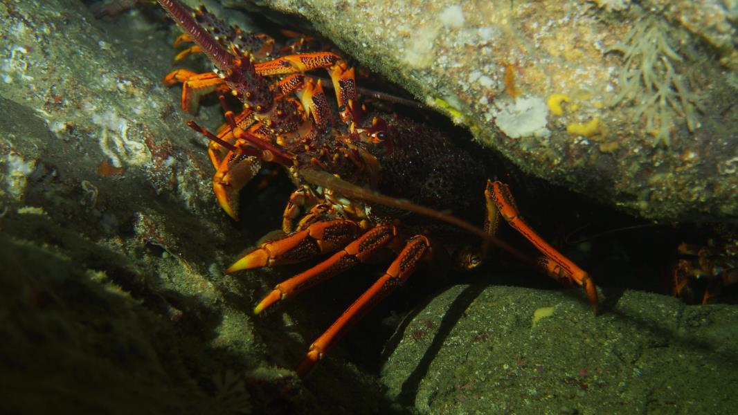 Crayfish Tamania