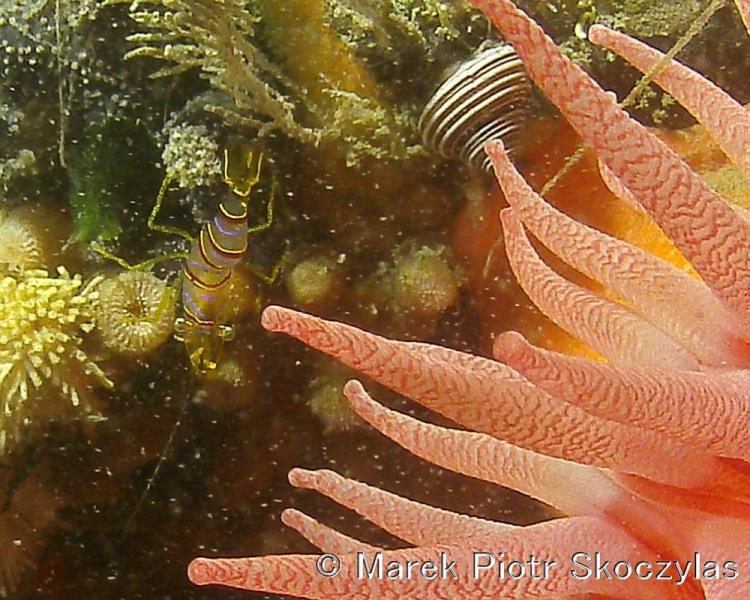 Crimson Anemone + Candy Stripe Shrimp