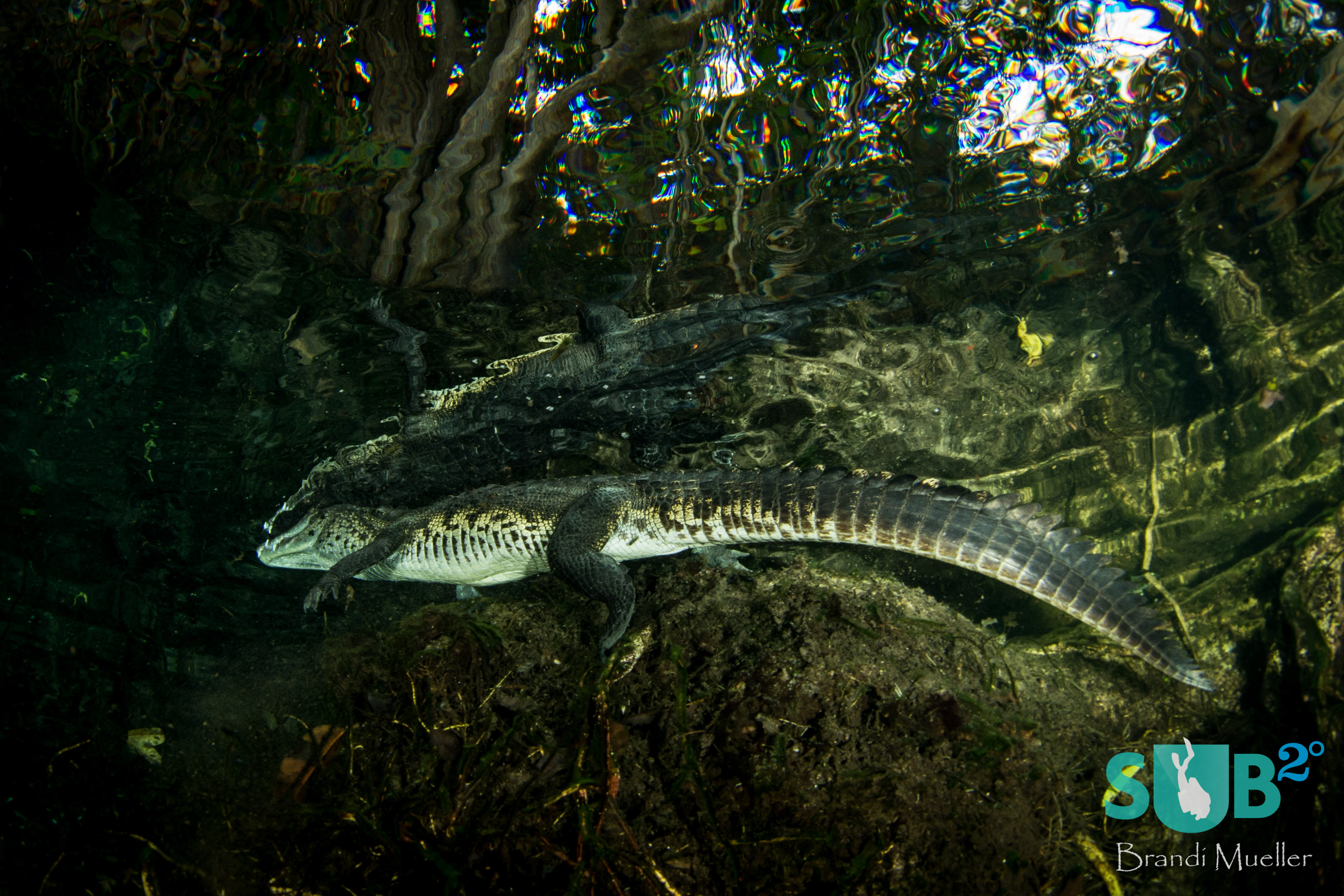Divers slowly approach the resident crocodile at Aktun Ha Cenote (also known as Car Wash).