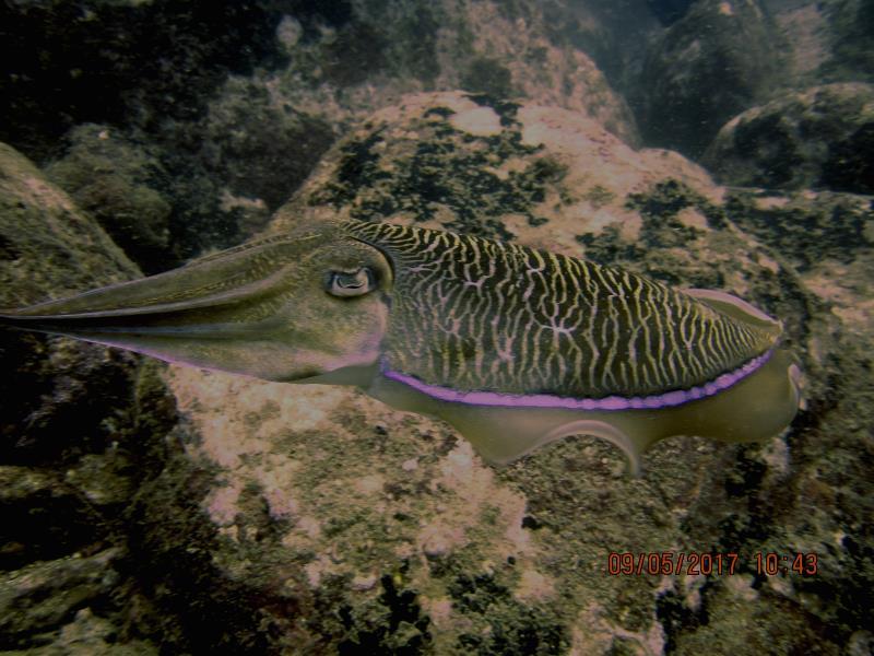 Cuttlefish!