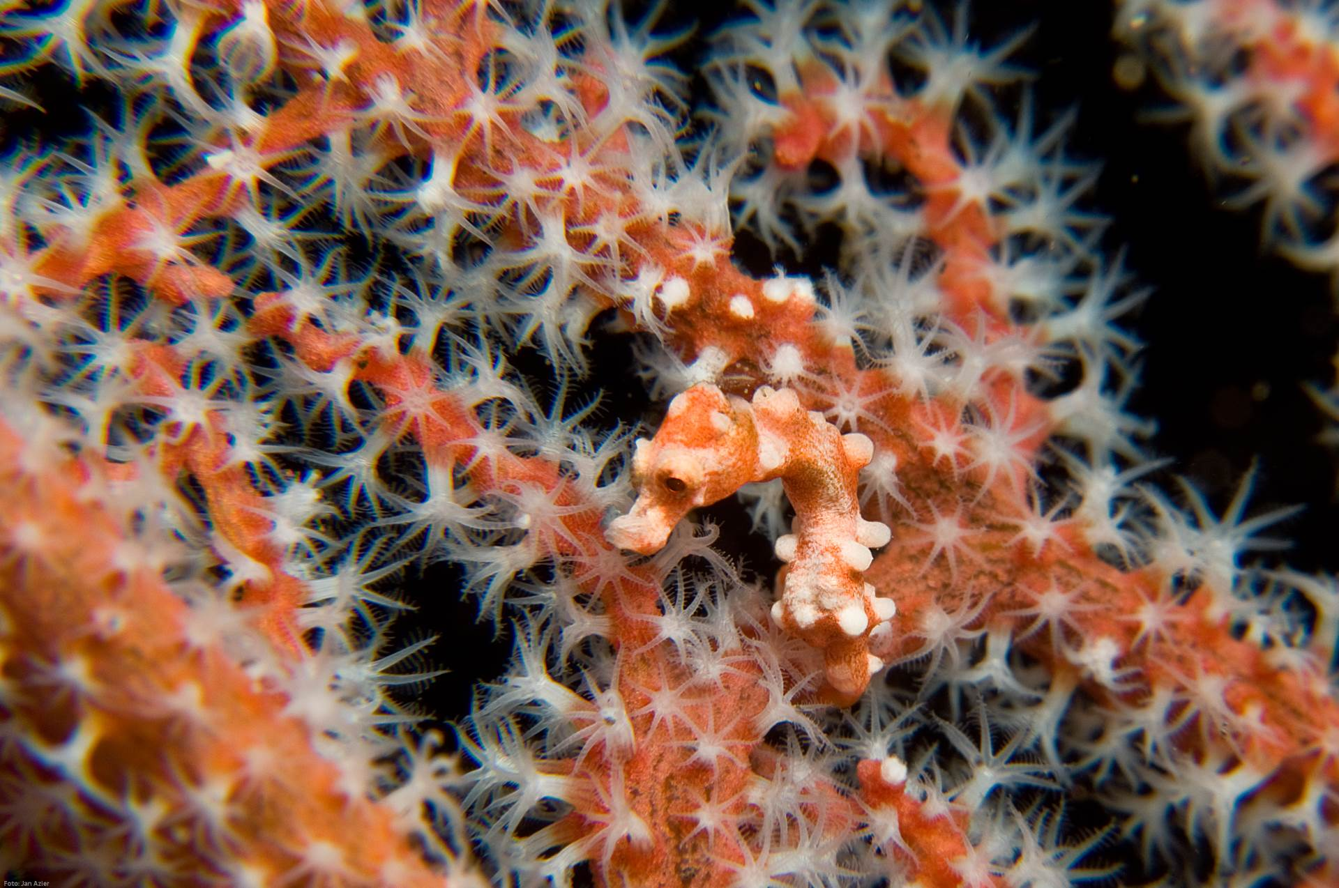 A Denise's pygmy seahorse (H. denise) spotted in Bali. Photo by Jan Azier/Guylian Seahorses of the World