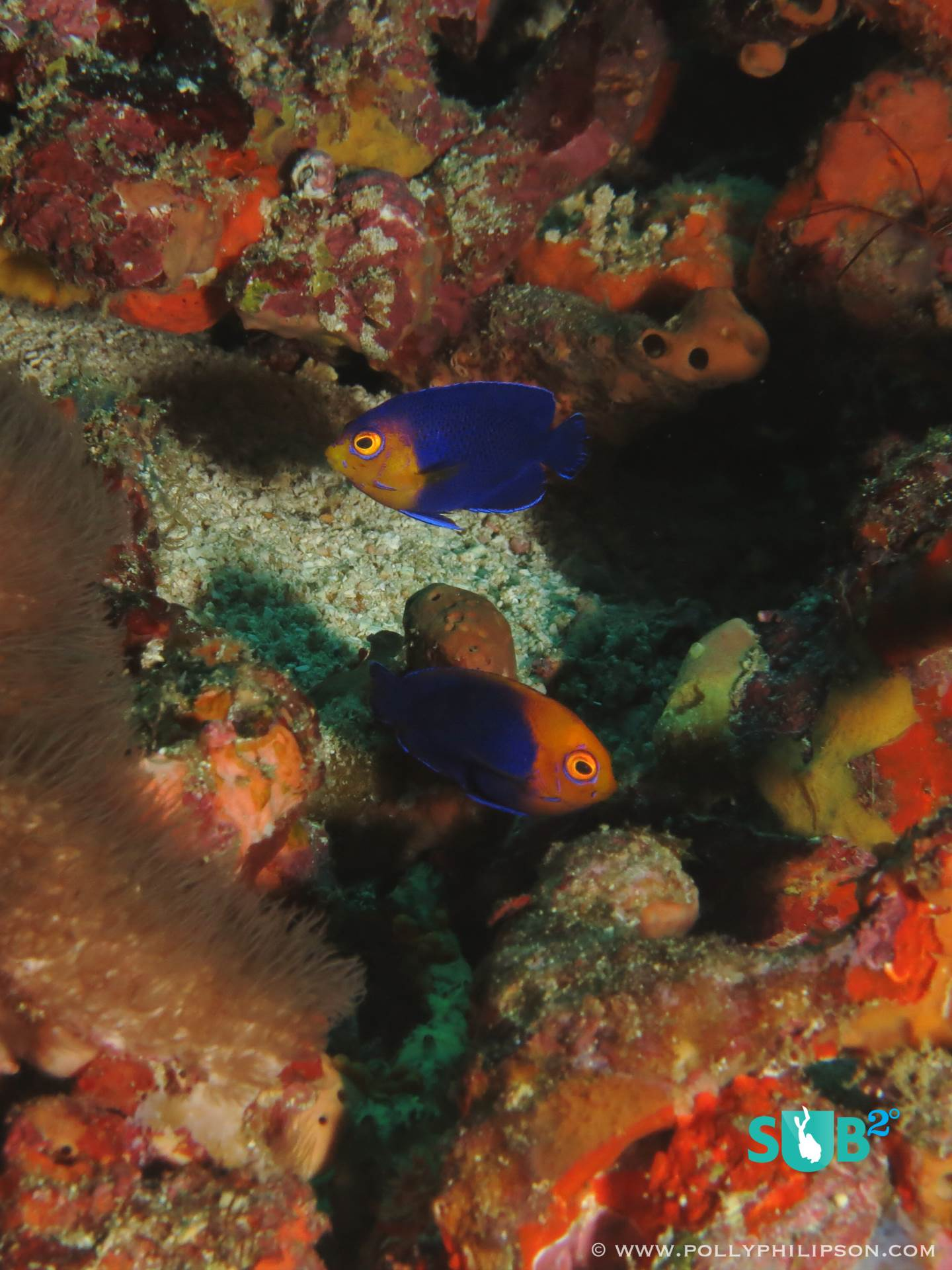 Cherubfish and flameback angelfish flutter around the seabed with the bicolour damselfish.