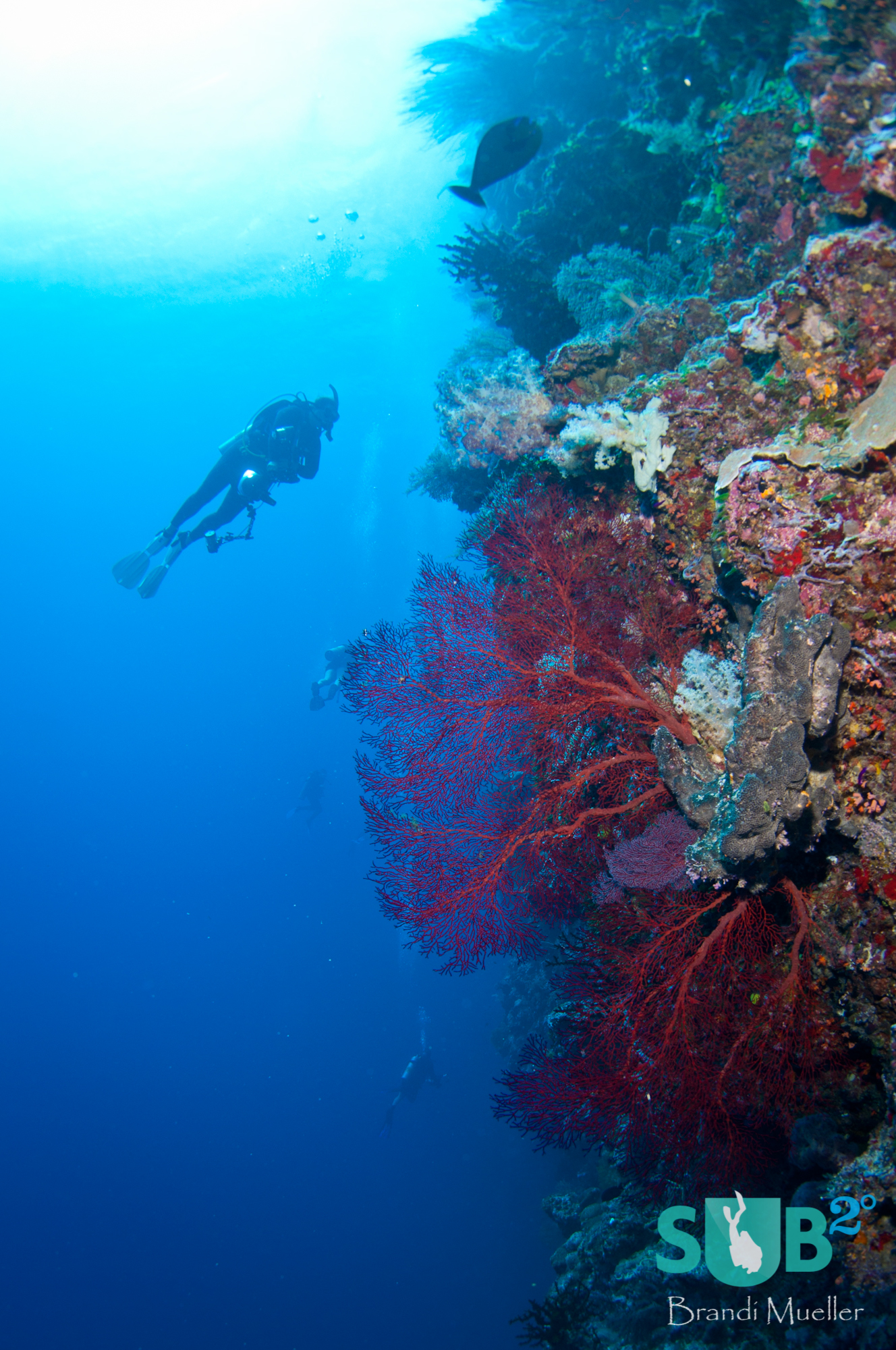 Drifting from Blue Holes to Blue Corner, this diver inspects the beautiful wall with red sea fans.