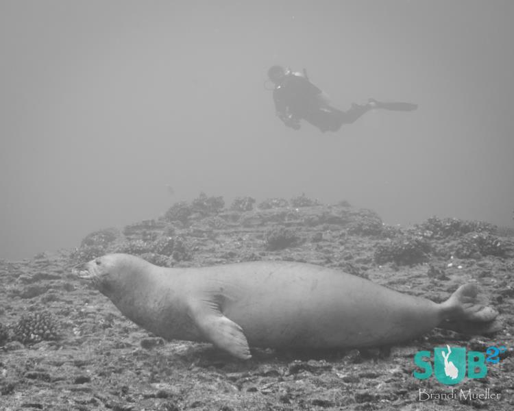 Diver with a Hawaiian Monk Seal