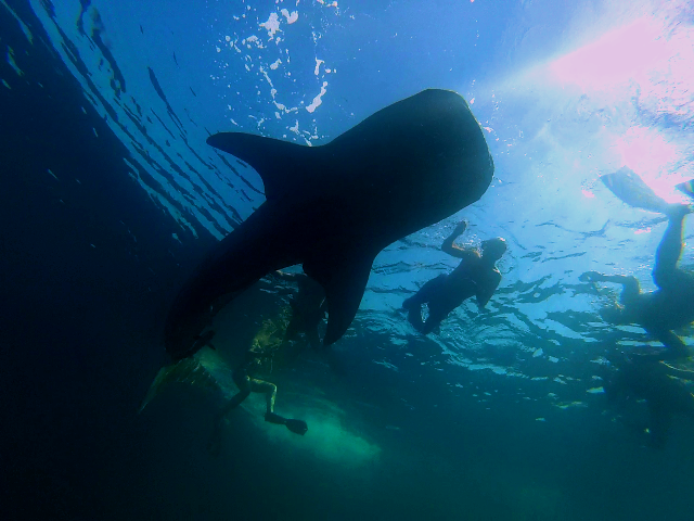 Swimming with the gentle giant is perhaps one of you elusive dream.. Make it happen in Musandam with us.