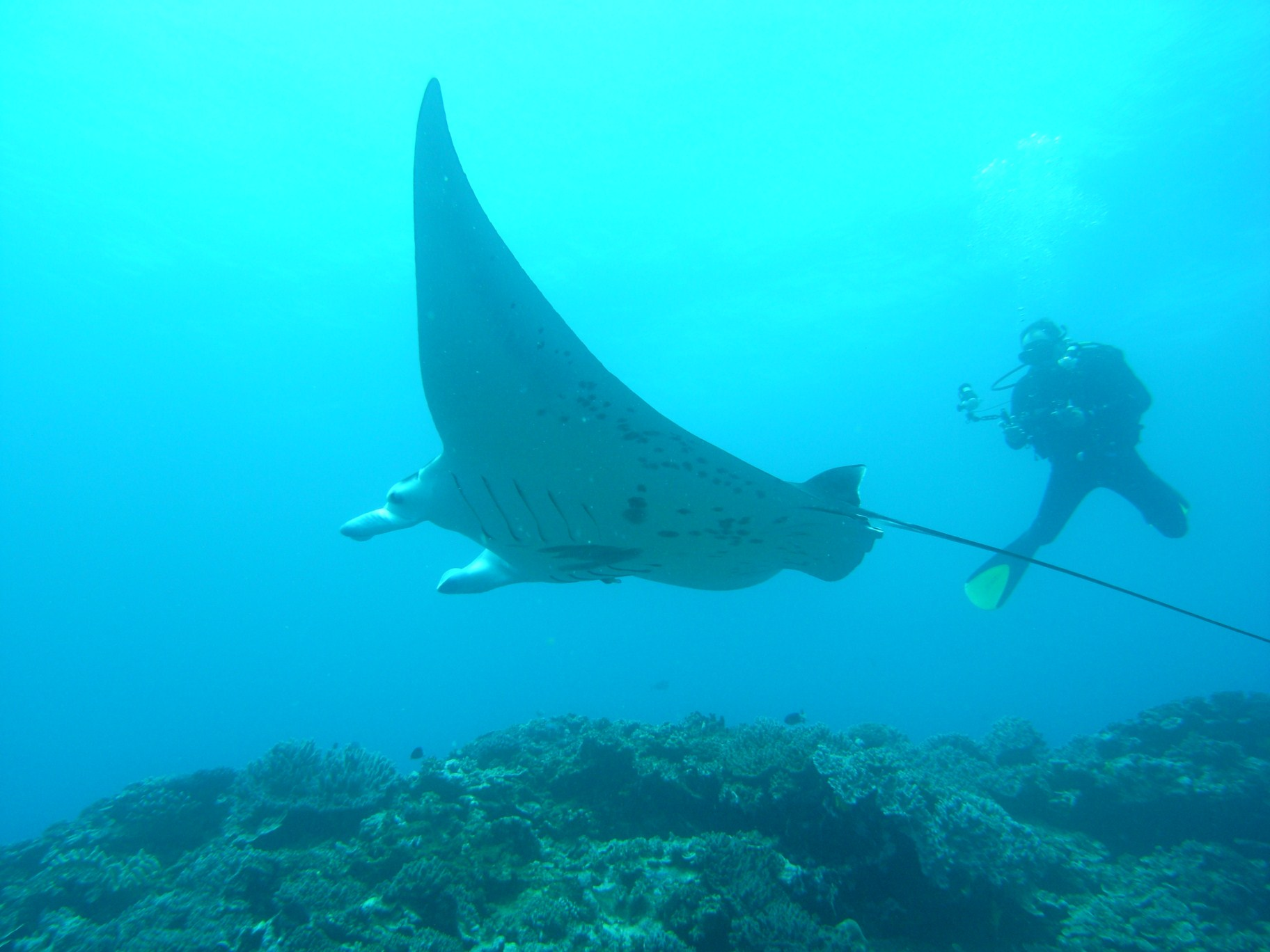 Diving with Mantas
