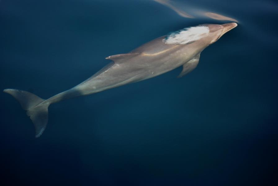 dolphin at musandam