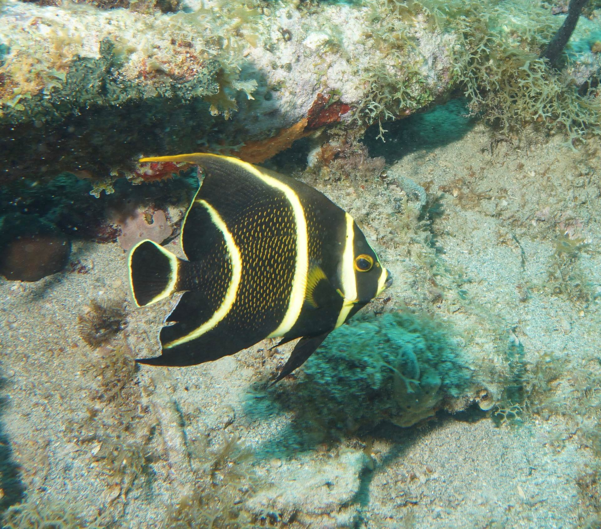 french angelfish in nevis