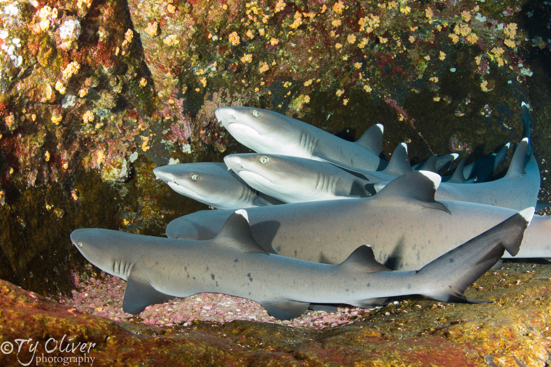White tip reef sharks stacked on top of one another at Roca Partida, Socorro Islands.