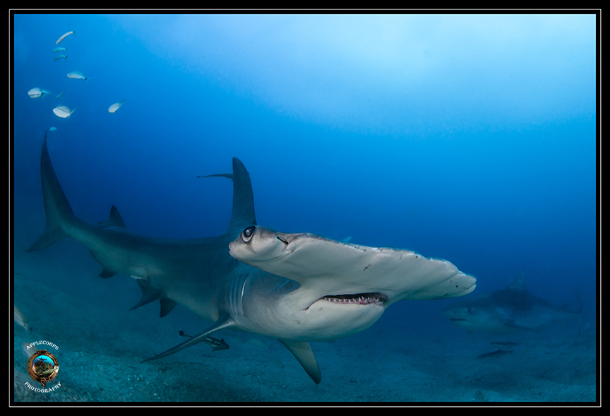 March & April bring Great Hammerheads to the Jupiter, FL dive sites . . . if you know where to go to find them.