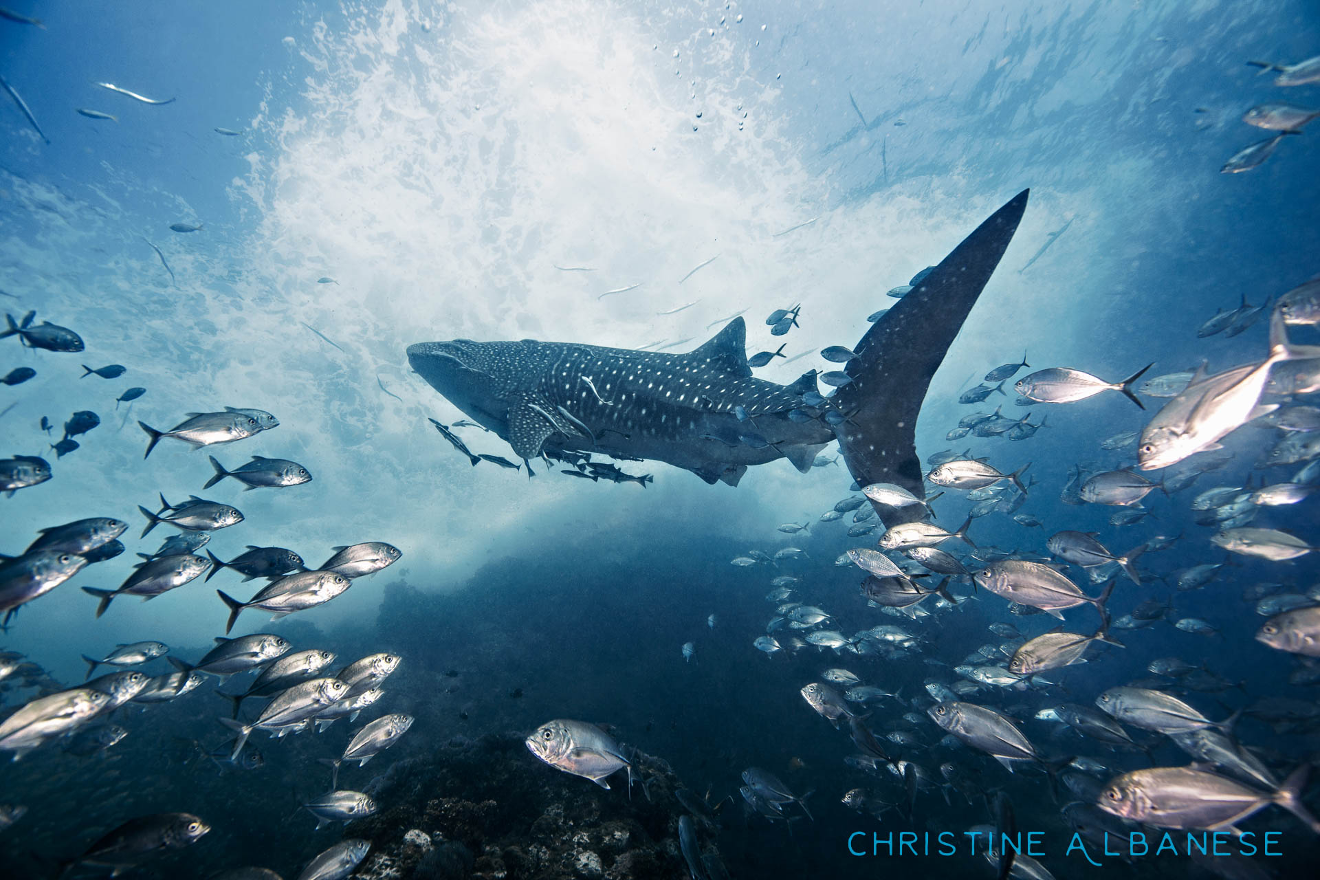 On March 3rd 2015, something magical happened.... I saw my very first whaleshark. This event in itself is pretty incredible, but it meant so much more to me.  It took 15 months of diving on Koh Tao nearly every day... there have been sightings, sure, but they always happened on the one day I would take off, or it showed up an hour after I left a dive site etc. I had a lot of bad luck. But finally... *500* dives later, it happened.  When I saw a large dark shape emerging out of the blue, I just knew. My heart started racing... and as it swam right over my head at an arm's reach away, my eyes welled with tears. Finally! I screamed with glee and cried with joy. Tears streamed down my face and into my mask. How lucky I was! I had my camera... and I was alone with it (for the moment). This is my favorite shot ever.  This photo landed me a brief 15mins of fame over at National Geographic My Shot... here is the blog featuring it by one of their editors, Lauri Hafvenstein.   http://yourshotblog.nationalgeographic.com/post/138736418365/hashtag-challenge-underwater-lauri-hafvenstein