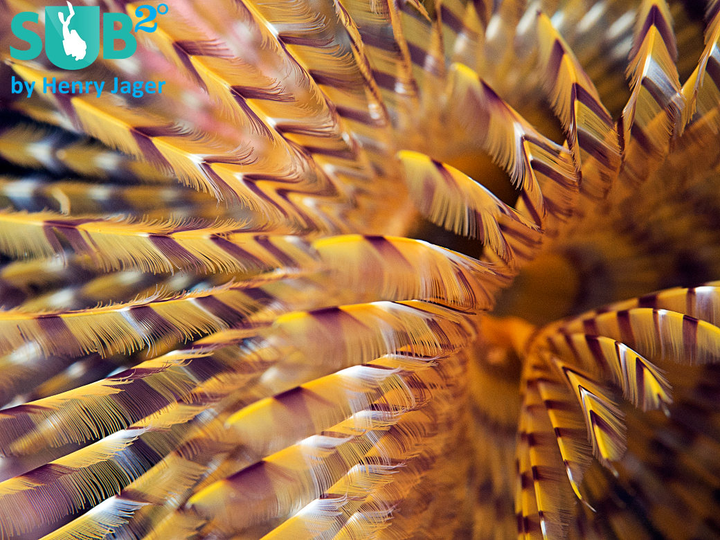 Reef-Art of a Double-Spiral Feather Duster Worm (Protula bispiralis) from Menorca, Spain.