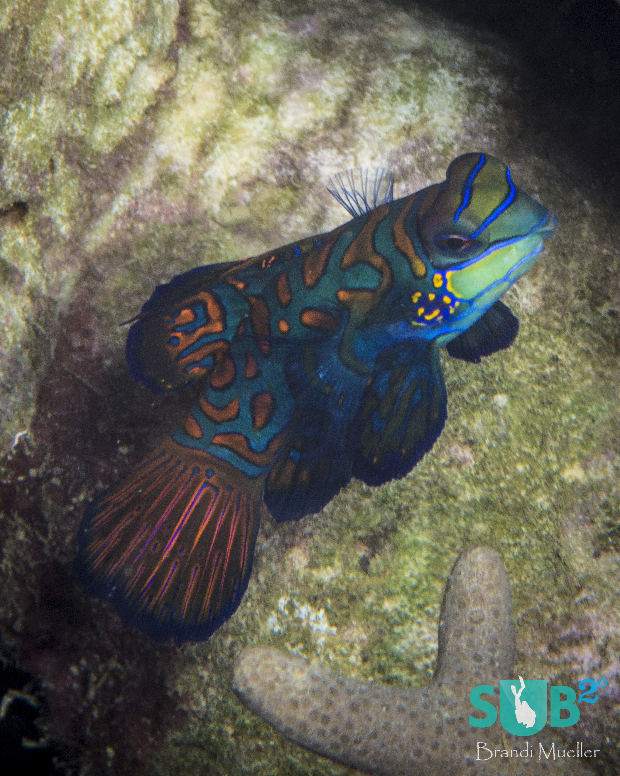 Female mandarinfish tend to be slightly smaller and lack the long dorsal fin that males have.