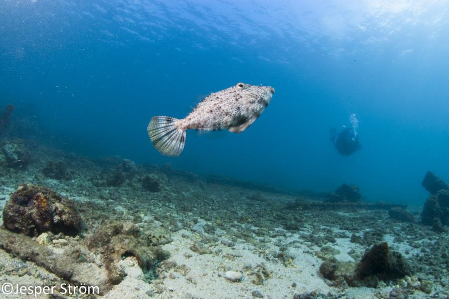 Filefish in The Sun