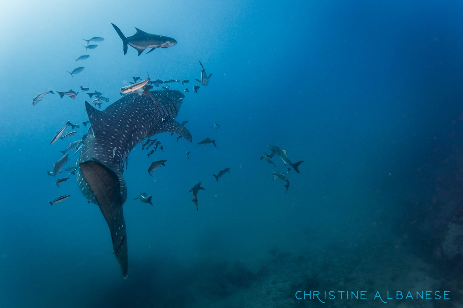A young whaleshark (this one was about 3.5m-4m long) makes its way around Southwest Pinnacle in search of food.  They are such curious and gentle giants, it's a travesty that their numbers are in decline due to the shark fin trade 