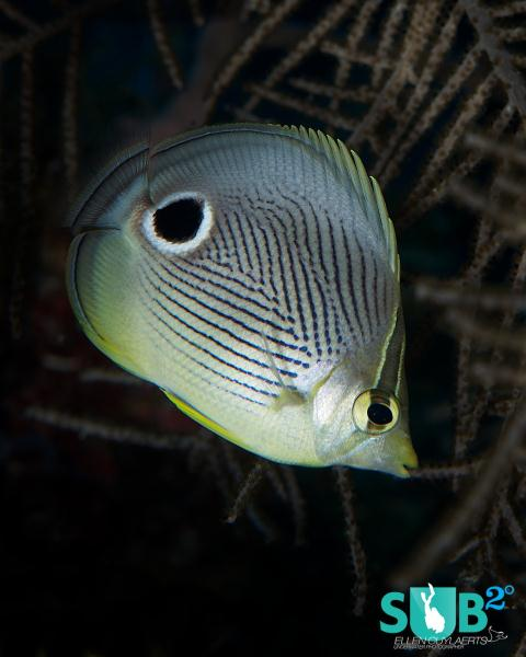 Four eyed butterflyfish