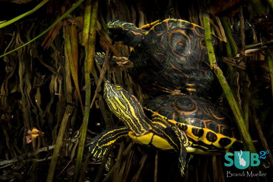 Freshwater Turtle