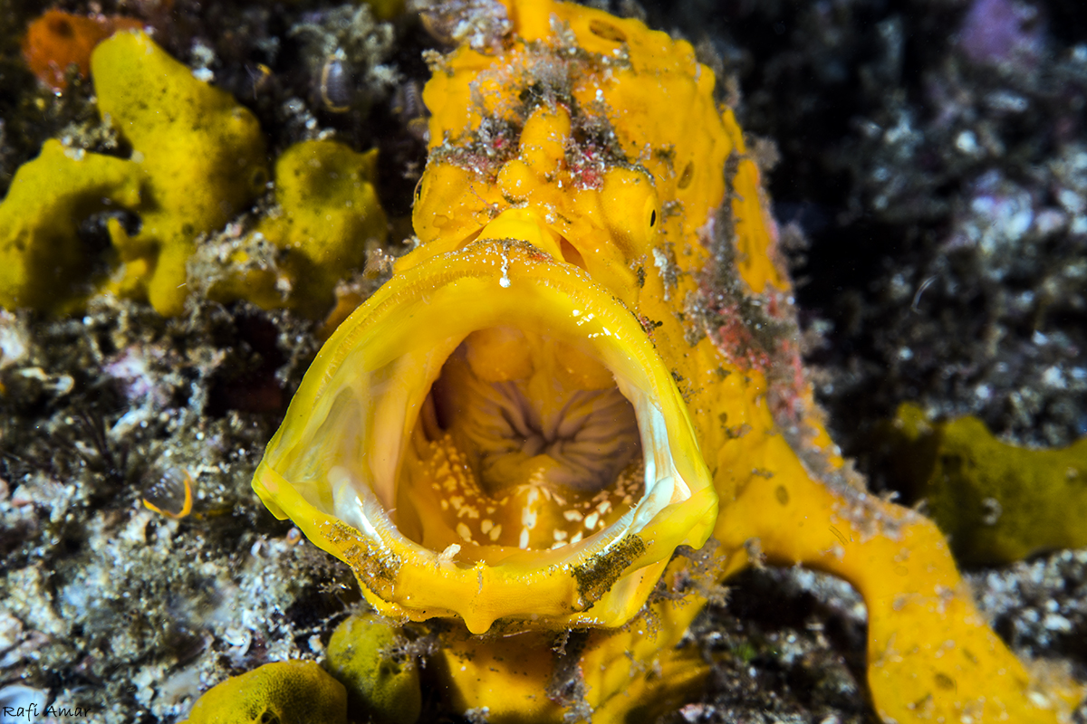 Every time I saw Frog Fish I waited for him yawns .. but it did not happen .. Finally when I dove with a group, and they all went to film him I waited on until everyone finished .. and then I went to him, and the first image that was his the yawn .. it was amazing ..