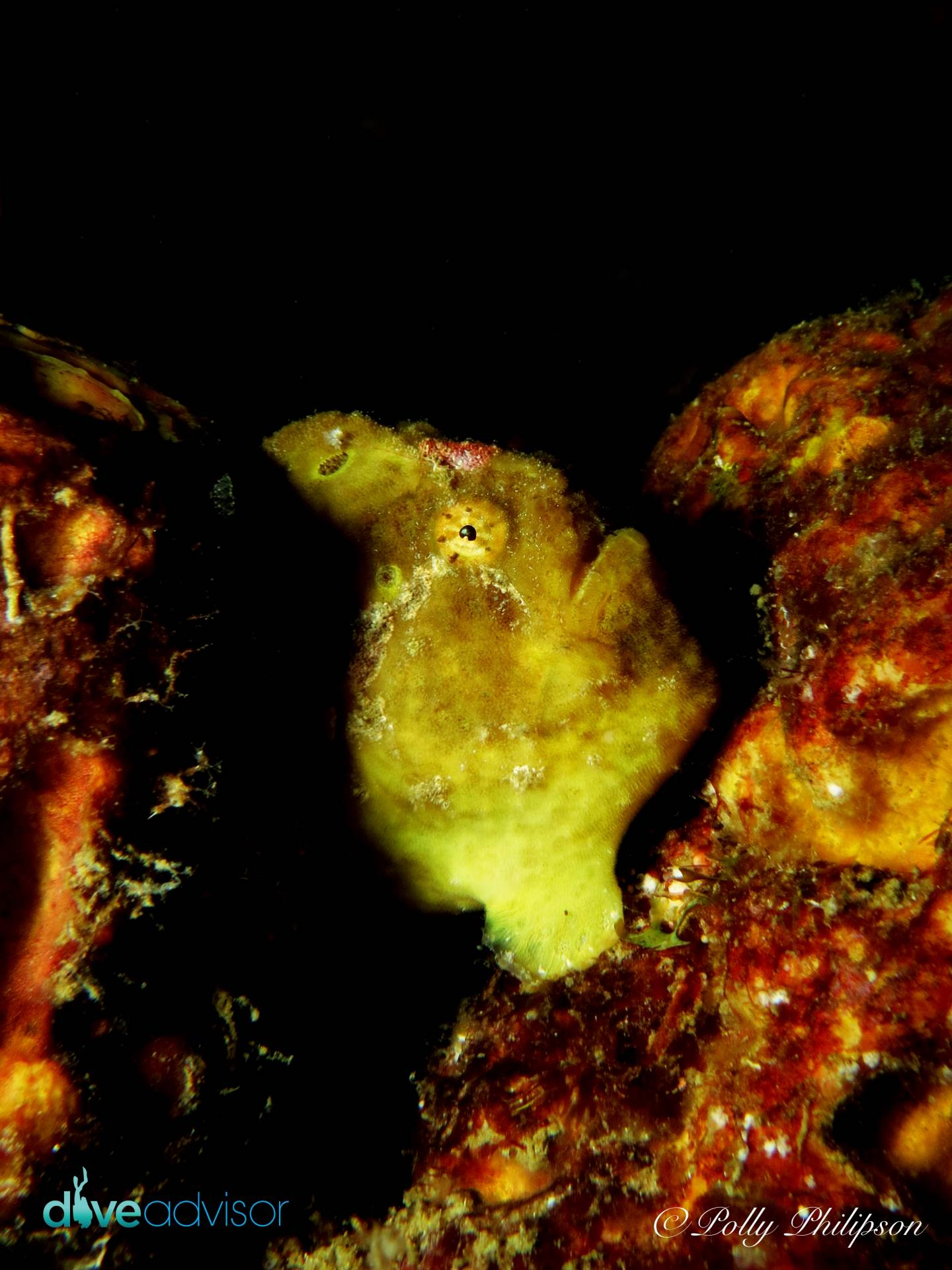 Longlure frogfish use the yellow sponges growing on wrecks as camouflage. This tiny frogfish was hard to spot on the massive shipwreck of the Bianca C.