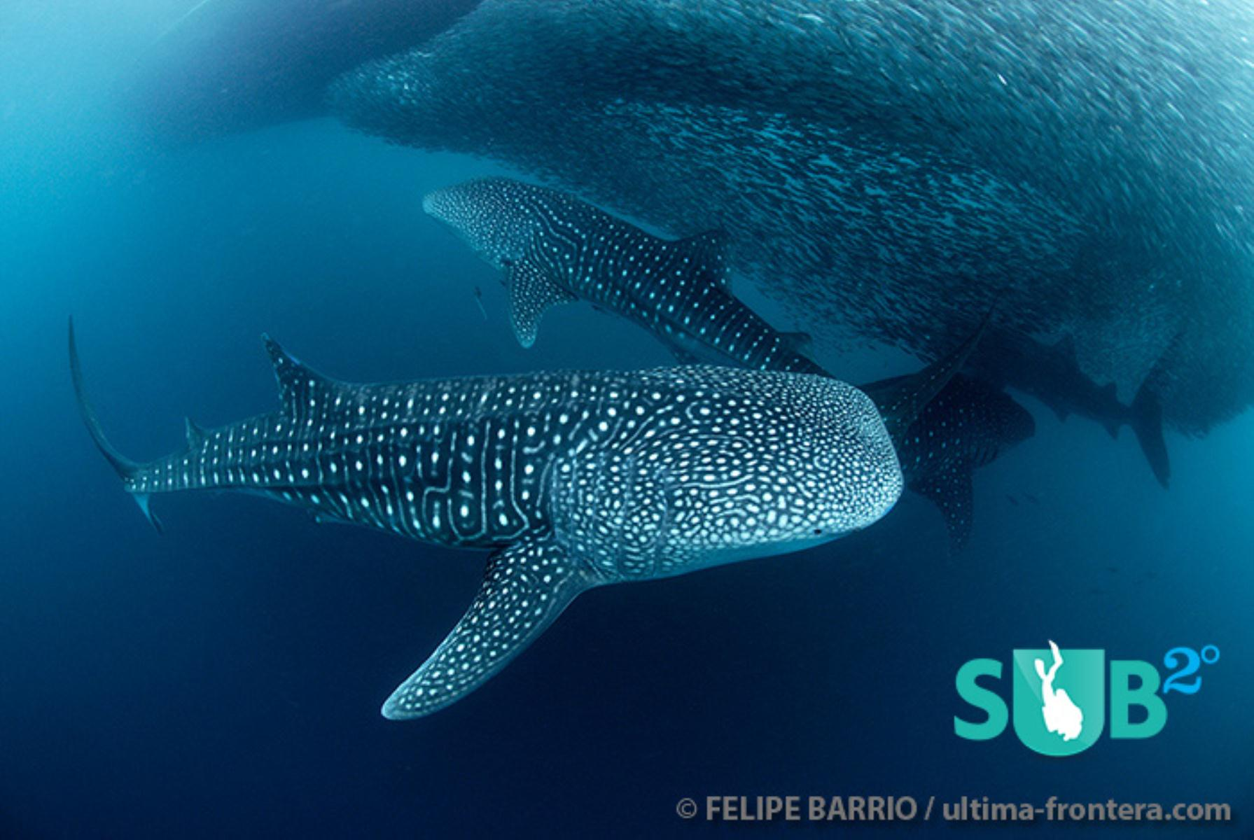 So beautiful to watch this gathering of whale sharks swimming gracefully