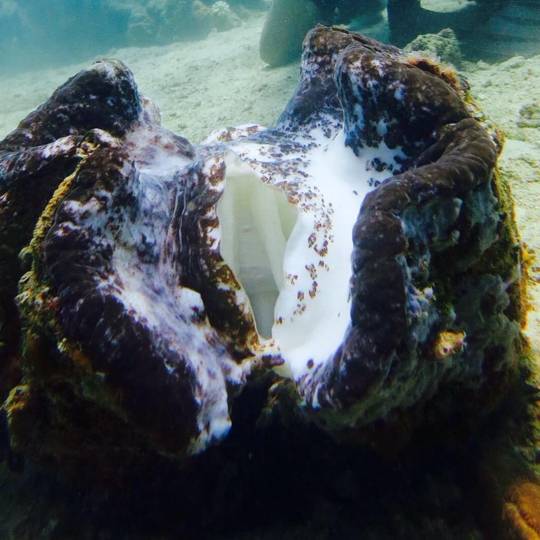 giant sea clamps in sabang puerto gallera..