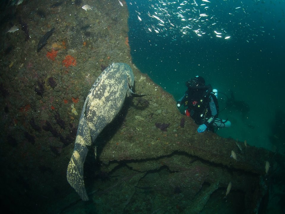 Diver with RB unit checks out a Goiath Grouper while digging the bow section of the Dixie Arrow wreck, sunk by. German U-boat during WW2