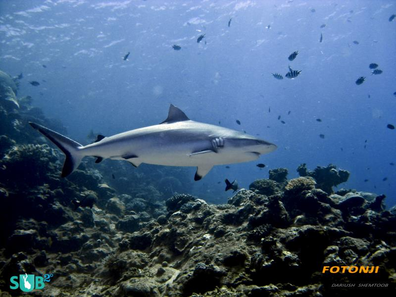 Gray Reef Shark Cautiously Approaching the Feeding Frenzy