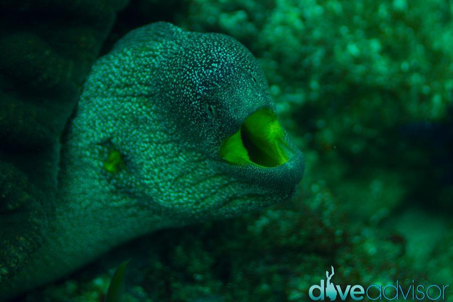 Green Moray at Octopus Rock, Musandam