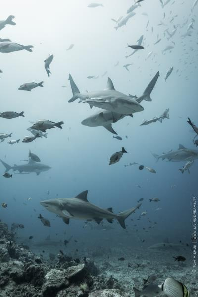 Group of Bull Sharks in Fiji