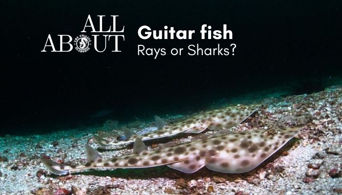 All about Guitafish