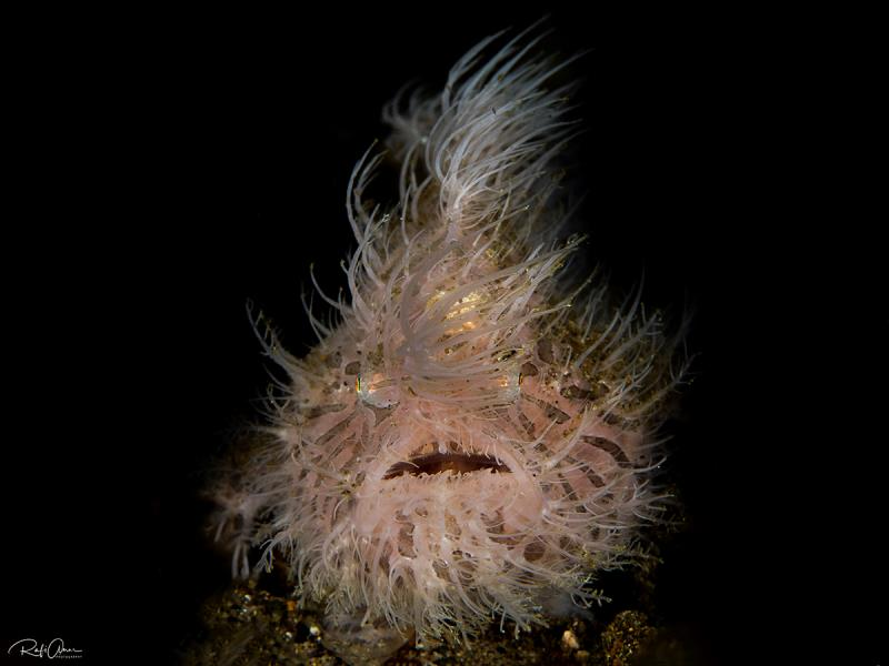 hairy Frogfish..