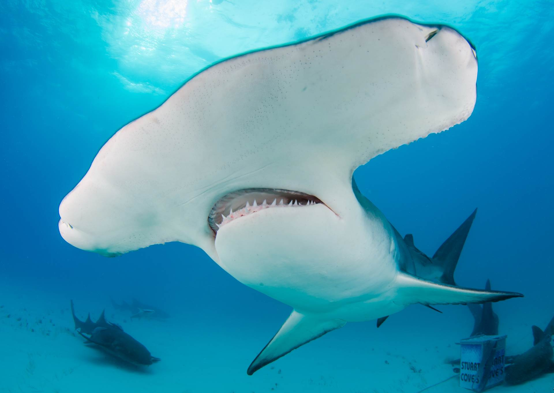 Bimini in the Bahamas is the best place in the world to dive with great hammerheads and the only place where they will allow you to get this close!