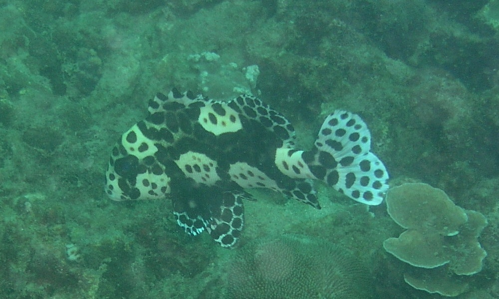 This Harlequin Sweetlips was transitioning from a juvenile to an adult. I would say its size was six to eight inches.