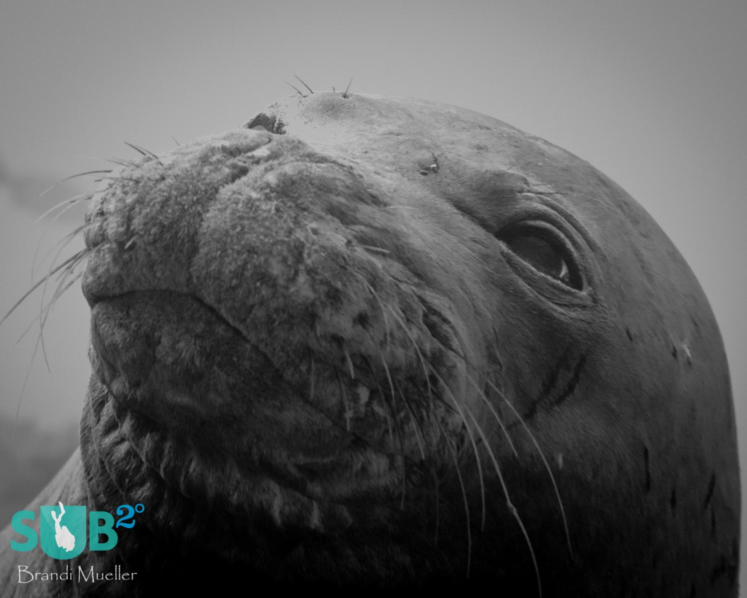 Often inquisitive underwater, the Hawaiian monk seals may come very close to divers. Seals are always fun to dive with, but having a chance to dive with this endangered mammal can make a dive even more special.