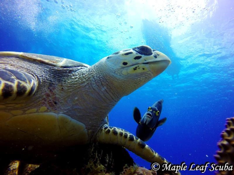 Hawksbill turtle at Punta Tunich in Cozumel
