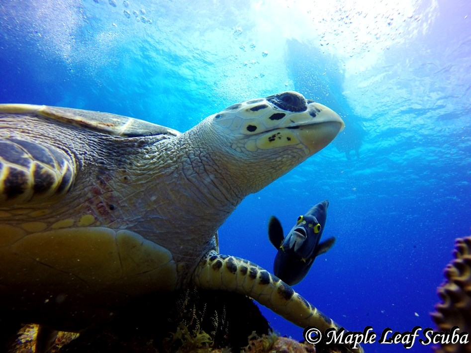 A lovely hawksbill turtle being followed by a French angel